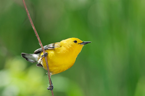 BRD 13 TK0050 01 © Kimball Stock Prothonotary Warbler Perched On Twig In Spring