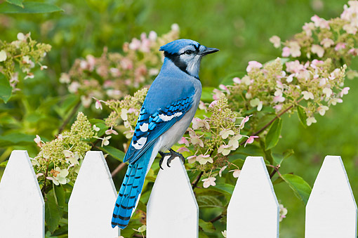 BRD 13 TK0051 01 © Kimball Stock Blue Jay Sitting On Picket Fence In Garden During Autumn In Nova Scotia