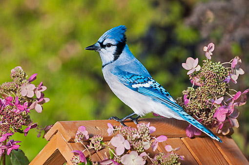 BRD 13 TK0053 01 © Kimball Stock Blue Jay Sitting In Garden By Hydrangeas During Autumn In Nova Scotia