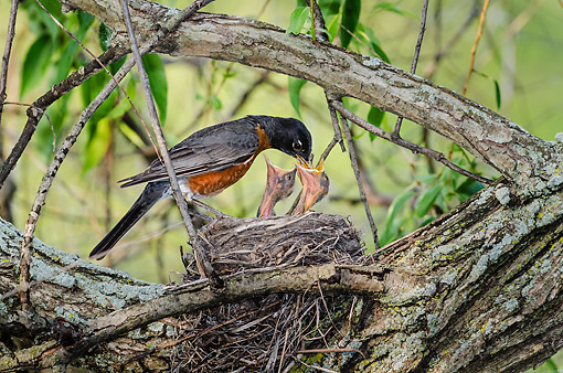 BRD 13 TK0054 01 © Kimball Stock American Robin Feeding Chicks On Nest In Spring