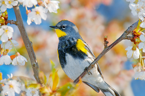 BRD 13 TL0068 01 © Kimball Stock Audubon's Warbler Perching On Twig In Tree