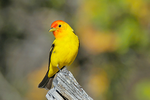 BRD 13 TL0070 01 © Kimball Stock Western Tanager Male Perched On Dead Tree Limb