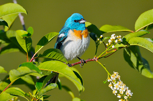 BRD 13 TL0073 01 © Kimball Stock Lazuli Bunting Male Perched On Cherry Blossom Twig