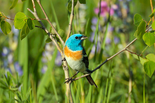BRD 13 TL0074 01 © Kimball Stock Lazuli Bunting Male Perched In Young Aspen Tree