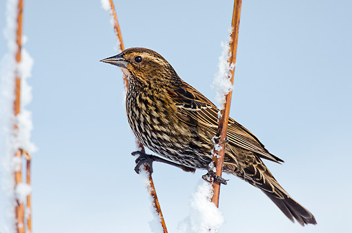 BRD 13 TL0077 01 © Kimball Stock Red-Winged Blackbird Female Perched On Frosty Twigs Washington