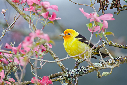 BRD 13 TL0078 01 © Kimball Stock Western Tanager Male Perched In Pink Dogwood Tree In Spring