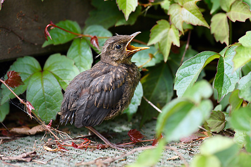BRD 13 WF0007 01 © Kimball Stock Blackbird Fledgling Sitting On Ground While Calling