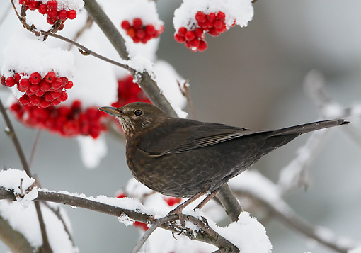 BRD 13 WF0008 01 © Kimball Stock Female Blackbird Perched In Snowy Bush With Red Berries