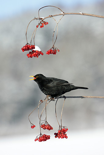 BRD 13 WF0009 01 © Kimball Stock Male Blackbird Perched On Branch Eating Red Berry