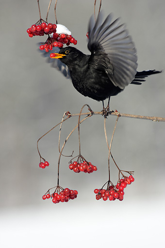 BRD 13 WF0010 01 © Kimball Stock Male Blackbird Perched On Branch Eating Red Berry