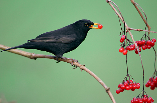 BRD 13 WF0011 01 © Kimball Stock Male Blackbird Perched On Branch Eating Red Berry