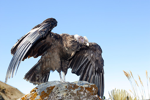 BRD 13 WF0014 01 © Kimball Stock Andean Condor Perched On Rock