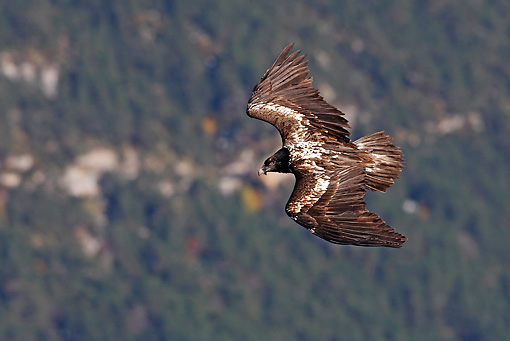 BRD 13 WF0015 01 © Kimball Stock Young Bearded Vulture In Flight