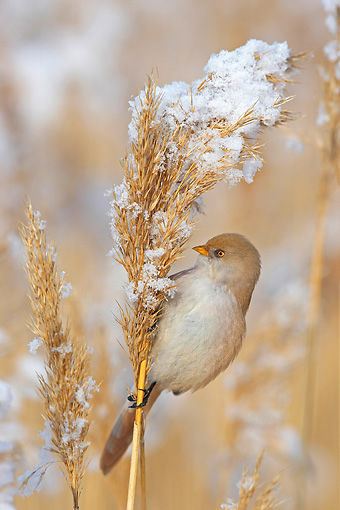 BRD 13 WF0018 01 © Kimball Stock Bearded Tit Female Perched On Snowy Reed Stalk