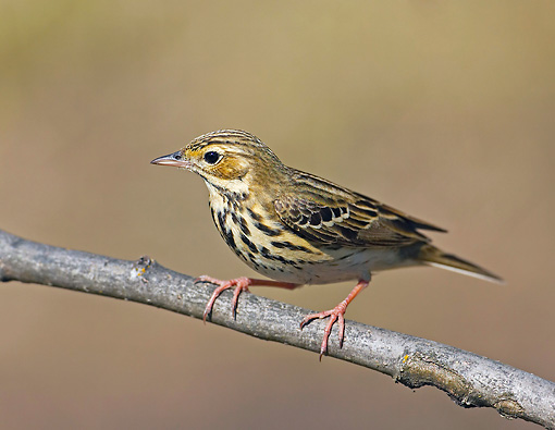 BRD 13 WF0020 01 © Kimball Stock Tree Pipit Perched On Twig