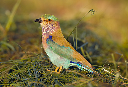 BRD 13 WF0022 01 © Kimball Stock Indian Roller Standing On Grass