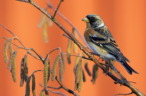 BRD 13 WF0024 01 © Kimball Stock Brambling Perched On Flowering Tree