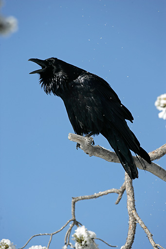 BRD 13 WF0025 01 © Kimball Stock Common Raven Calling On Twig