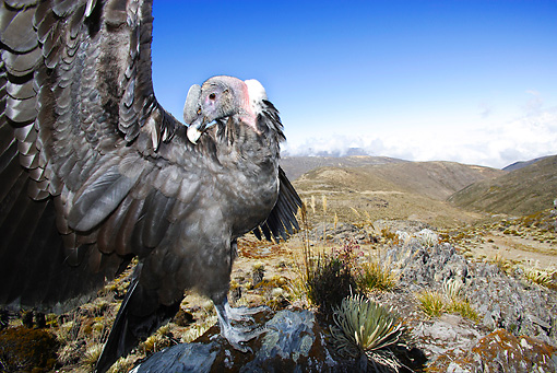 BRD 13 WF0026 01 © Kimball Stock Andean Condor Perched On Rock While Stretching Wings