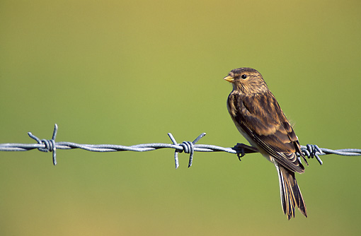 BRD 13 WF0027 01 © Kimball Stock Twite Perched On Barbed Wire Fence