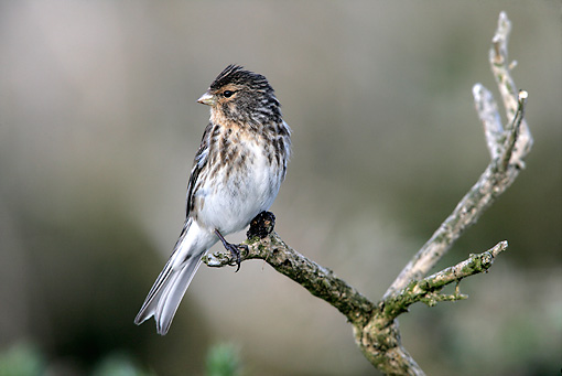 BRD 13 WF0028 01 © Kimball Stock Portrait Of Twite Perched On Twig