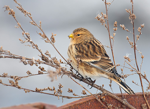 BRD 13 WF0029 01 © Kimball Stock Portrait Of Twite Perched On Twig Eating Seeds