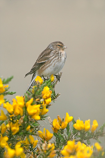 BRD 13 WF0030 01 © Kimball Stock Portrait Of Twite Perched On Yellow Flowers
