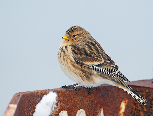 BRD 13 WF0031 01 © Kimball Stock Portrait Of Twite Perched On Rusty Metal