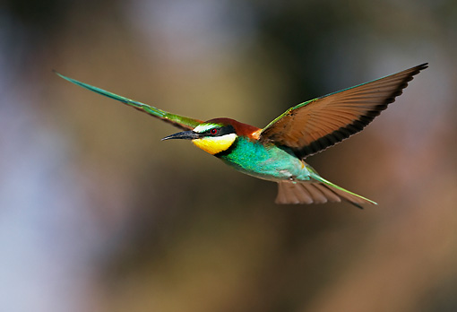 BRD 13 WF0032 01 © Kimball Stock European Bee-Eater In Flight