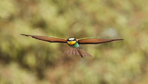 BRD 13 WF0033 01 © Kimball Stock European Bee-Eater In Flight