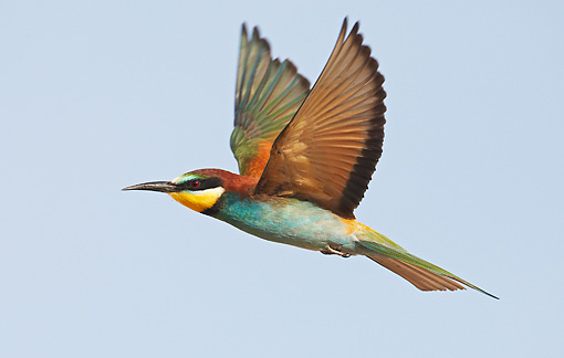 BRD 13 WF0034 01 © Kimball Stock European Bee-Eater In Flight Profile