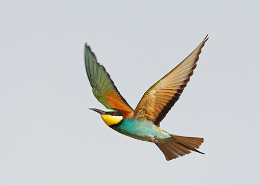 BRD 13 WF0036 01 © Kimball Stock European Bee-Eater In Flight