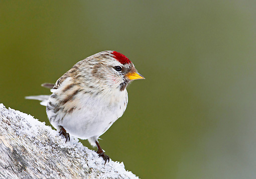 BRD 13 WF0038 01 © Kimball Stock Common Redpoll Standing On Frost Covered Rock