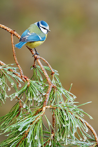 BRD 13 WF0040 01 © Kimball Stock Blue Tit Perched On Pine Twig Covered In Ice Netherlands