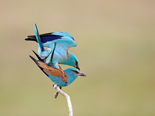 BRD 13 WF0042 01 © Kimball Stock Two European Rollers Mating On Twig