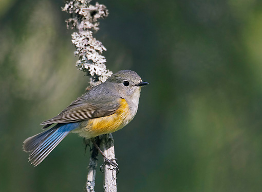 BRD 13 WF0044 01 © Kimball Stock Red-Flanked Bluetail Perched On Twig
