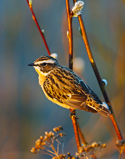BRD 13 WF0047 01 © Kimball Stock Whinchat Male Perched On Twig At Sunset
