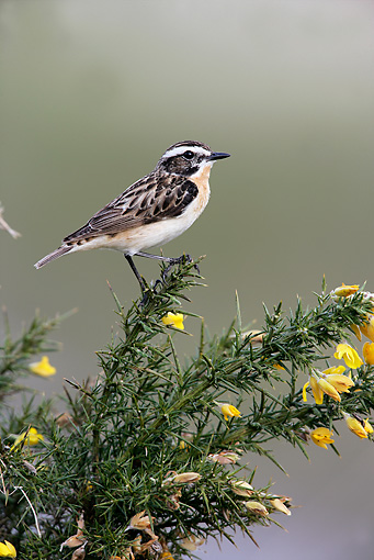 BRD 13 WF0048 01 © Kimball Stock Whinchat Male Perched On Twig With Yellow Flowers