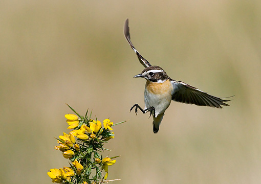 BRD 13 WF0049 01 © Kimball Stock Whinchat Male Landing On Yellow Flowers