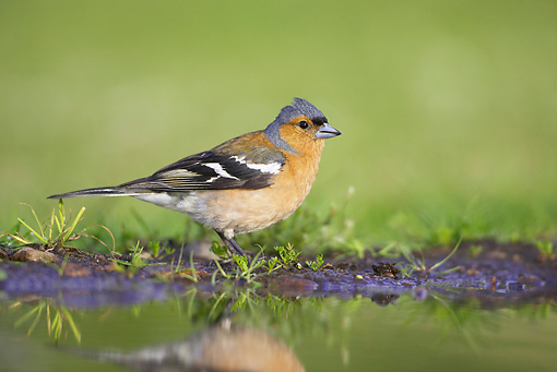 BRD 13 WF0050 01 © Kimball Stock Chaffinch Male Standing At Edge Of Garden Pond