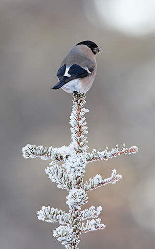 BRD 13 WF0053 01 © Kimball Stock Eurasian Bullfinch Female Perched On Snowy Spruce