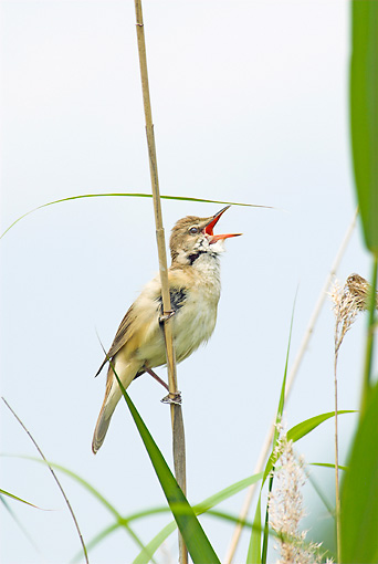 BRD 13 WF0055 01 © Kimball Stock Portrait Of Great Reed Warbler Male Singing