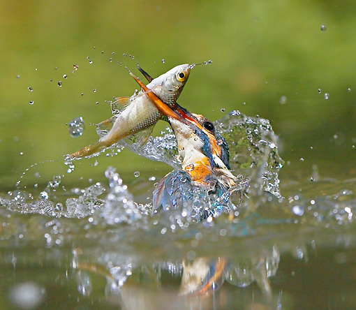 BRD 13 WF0061 01 © Kimball Stock Common Kingfisher Erupting From Water With Fish