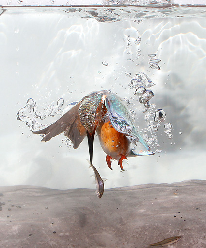 BRD 13 WF0062 01 © Kimball Stock Common Kingfisher Rising To Surface Of Water With Fish In Beak