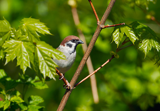 BRD 13 WF0066 01 © Kimball Stock Tree Sparrow Perched On Twig In Maple Tree