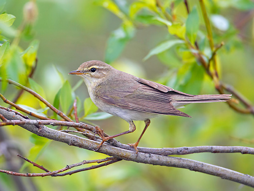 BRD 13 WF0069 01 © Kimball Stock Willow Warbler Perched On Willow Twig