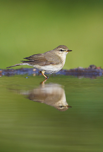 BRD 13 WF0071 01 © Kimball Stock Willow Warbler Standing In Garden Pool