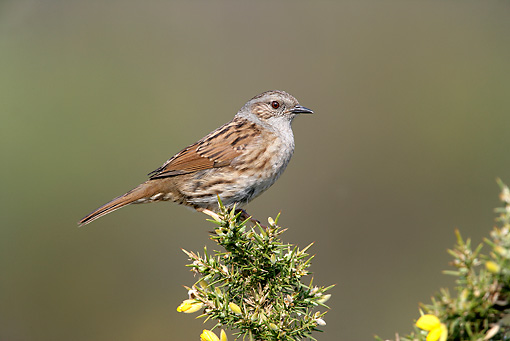 BRD 13 WF0073 01 © Kimball Stock Hedge Accentor Perched On Flowering Plant
