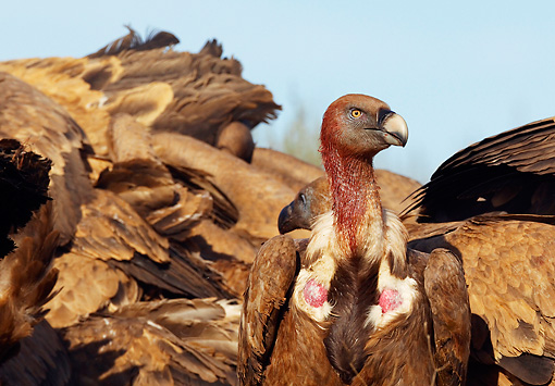 BRD 13 WF0079 01 © Kimball Stock Eurasian Griffon Vulture With Blood-Covered Head In Front Of Feeding