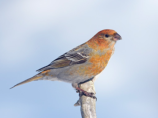 BRD 13 WF0085 01 © Kimball Stock Pine Grosbeak Female Perched On Twig